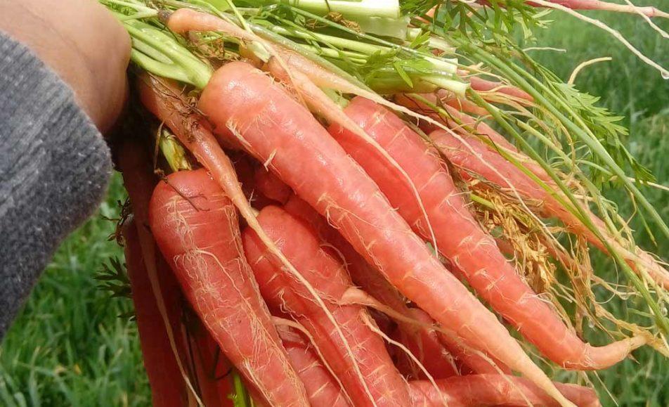 هویج قرمز بمپور
