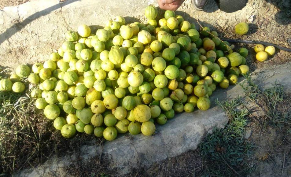 میوه گرمسیری گواوا سیستان و بلوچستان
