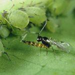 حشرات شکارگر: دوستان کشاورزی مسئولانه